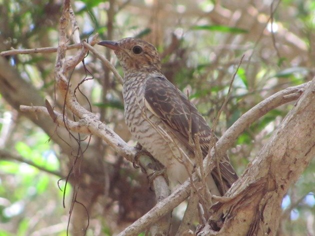 Brush Cuckoo (3)