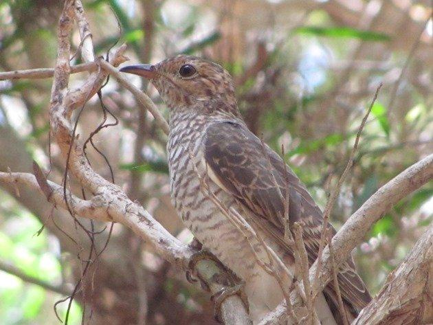 Brush Cuckoo (4)
