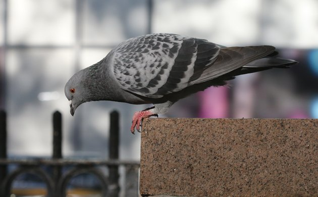 Bryant Park Rock Pigeon