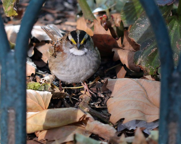 Bryant Park White-throated Sparrow
