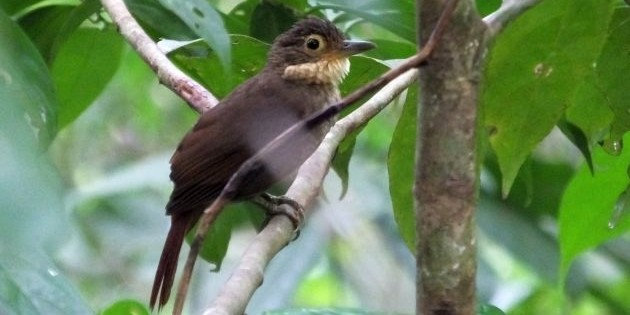 A Guide to Some Possible Bird Species Splits in Costa Rica
