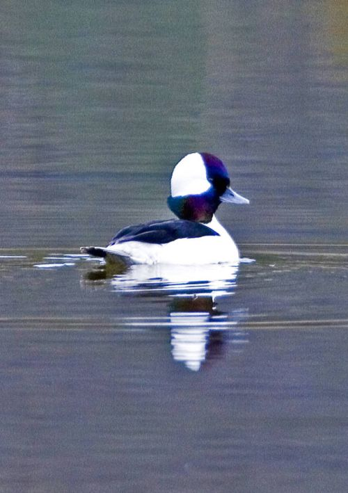 Bufflehead male with crest raised
