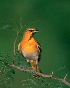 Bullock's Oriole on branch