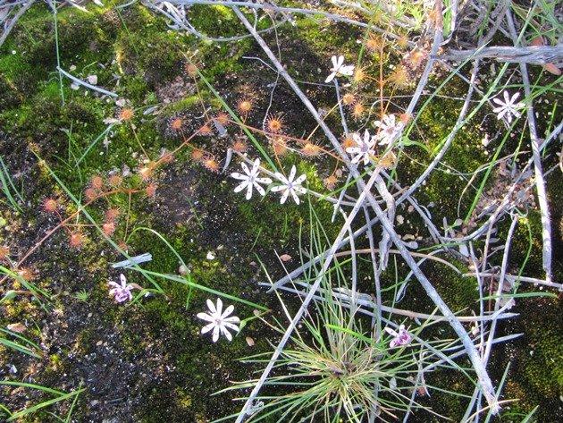 Burra Rock plant life (2)