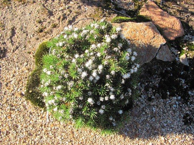 Burra Rock plant life (3)