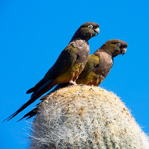 Burrowing-Parrots_007896