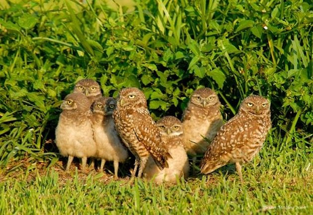 Burrowing_Owl_Babies