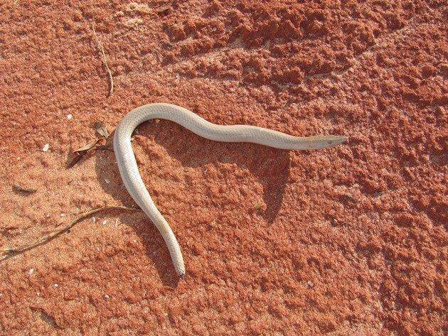 Burton's Snake Lizard