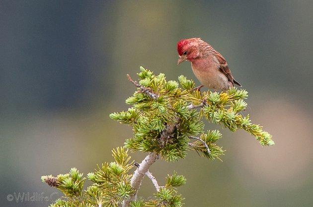 Cassin's Finch Male