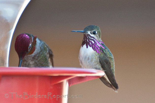 Calliope and Anna's Male Hummingbirds
