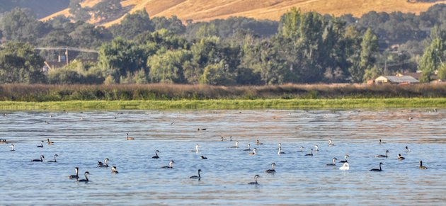 Grebe Colony at Clear Lake, California