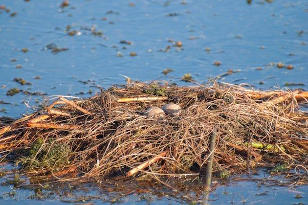 Clark's Grebe Nest
