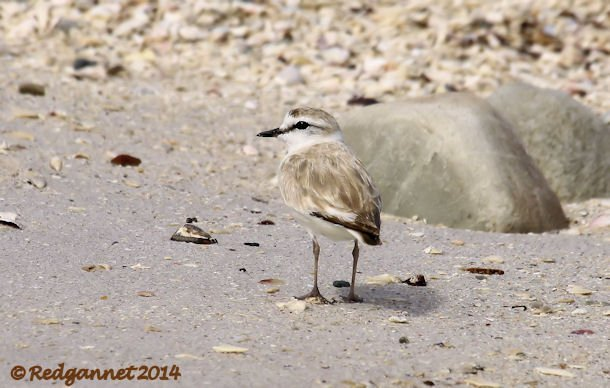 CPT 03Feb14 White-fronted Plover 02