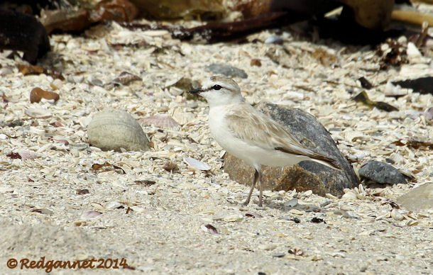 CPT 03Feb14 White-fronted Plover 03