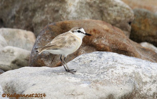 CPT 03Feb14 White-fronted Plover 09