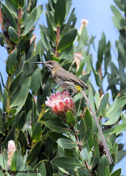 CPT 14Mar11 Cape Sugarbird 01