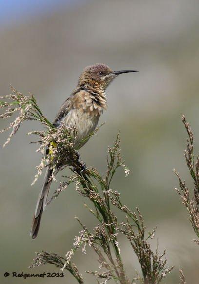 CPT 14Mar11 Cape Sugarbird 03