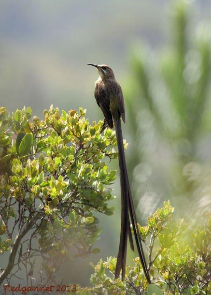 CPT 22Mar13 Cape Sugarbird 02