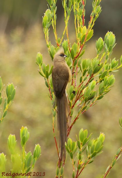 CPT 22Mar13 Speckled Mousebird 01
