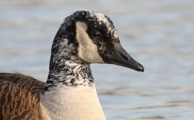 Canada Goose with white on its head