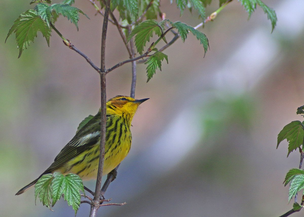 Cape May Warbler 2