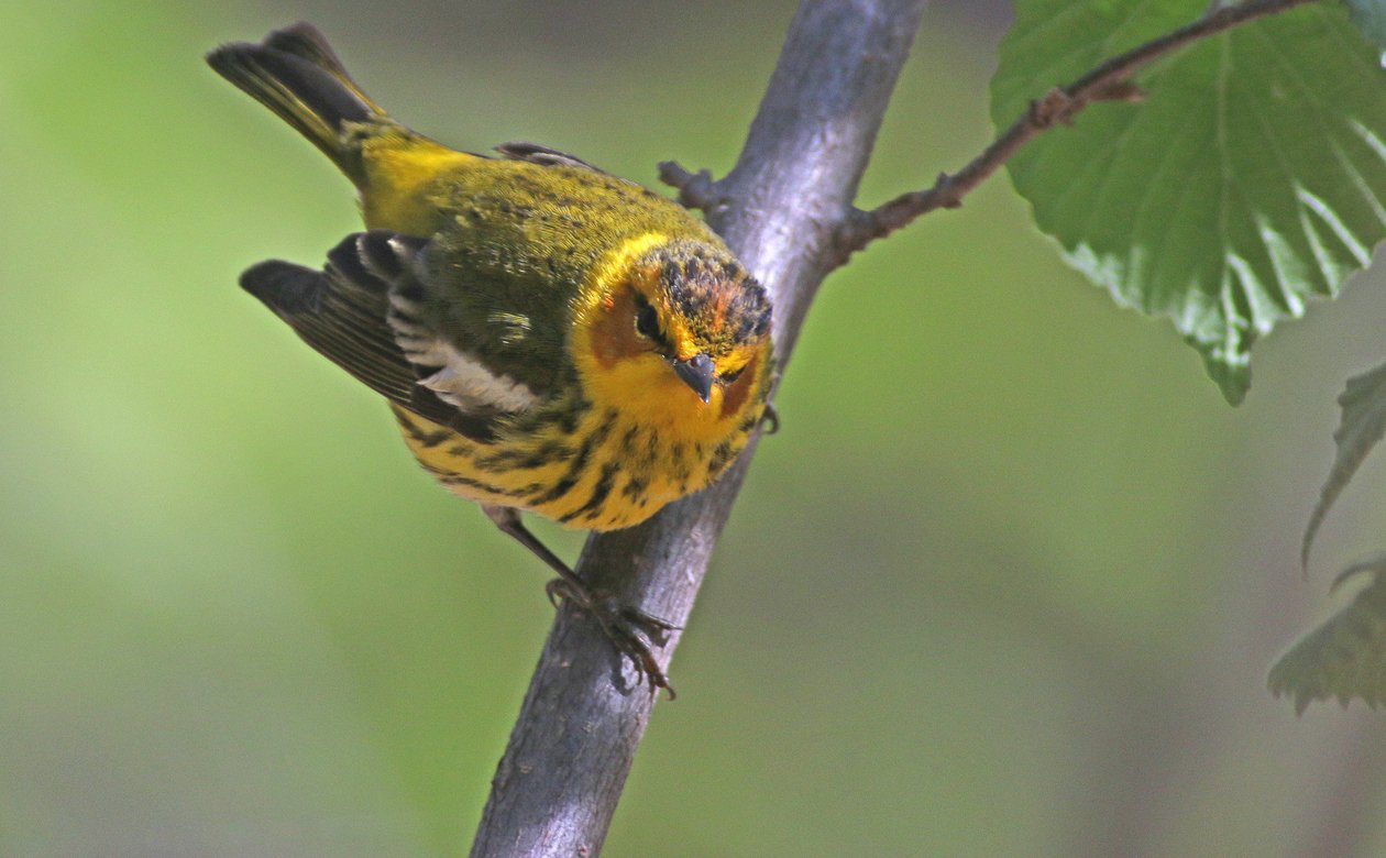 Cape May Warbler Setophaga tigrina