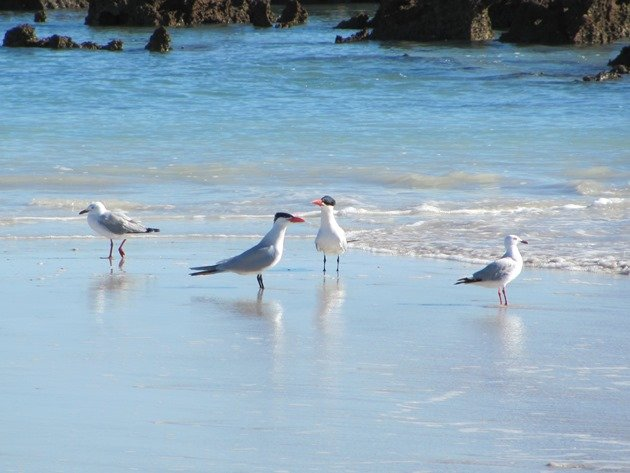 Caspian Terns and Silver Gulls
