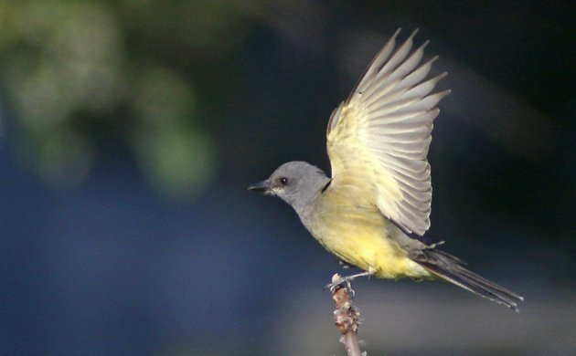 Cassin's Kingbird in Brooklyn