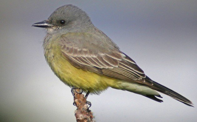 Cassin's Kingbird in New York State