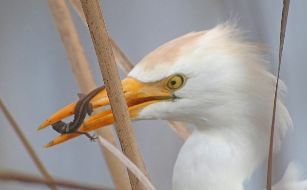 Cattle Egret eating a Brown Anole