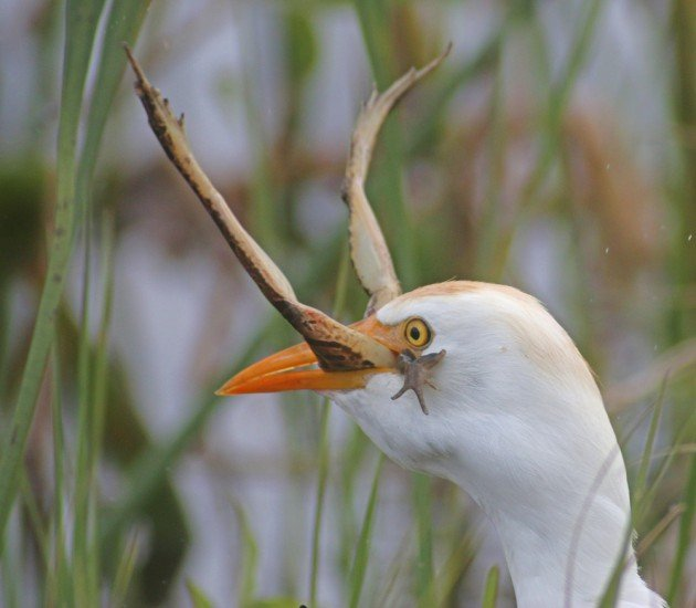 Cattle Egret eating a Leopard Frog