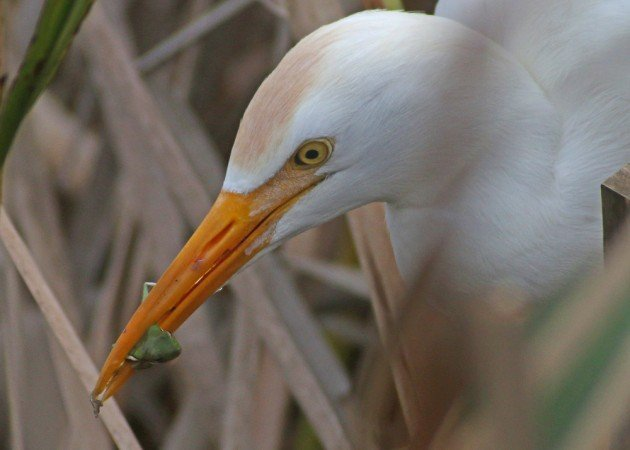 Cattle Egret eating a tree frog