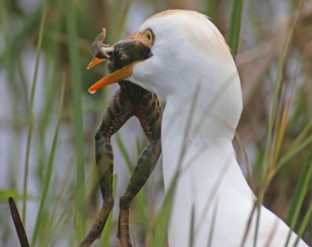 Cattle Egret with Leopard Frog