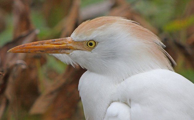 The Cattle Egret Expansion