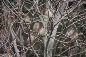 Cedar_waxwings_on_branches