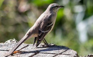 Chalk-browed Mockingbird