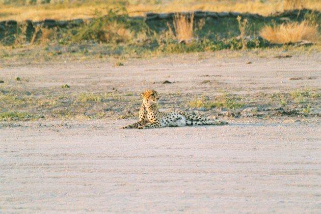 Cheetah Runway