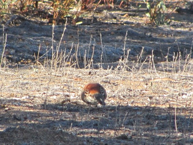Chestnut-backed Quail-thrush (3)