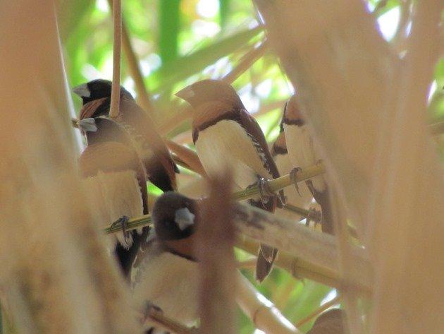 Chestnut-breasted Mannikins (3)