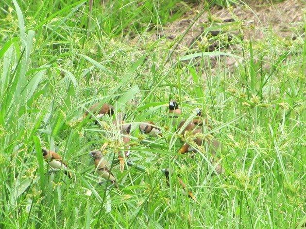 Chestnut-breasted Mannikins (6)