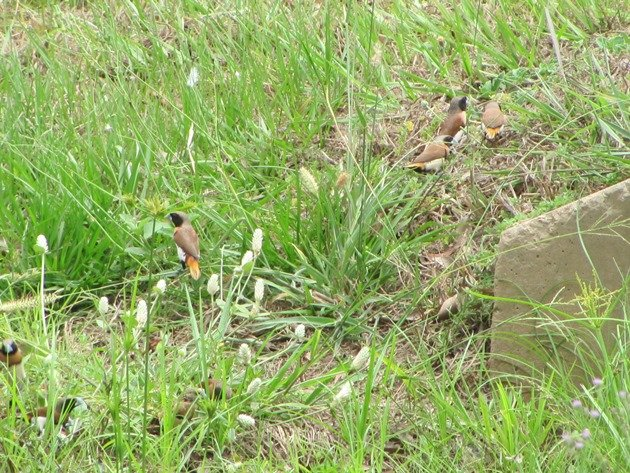 Chestnut-breasted Mannikins (8)
