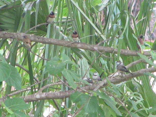 Chestnut-breasted Mannikins & Double-barred Finch