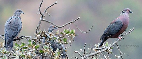 Chilean-Pigeon