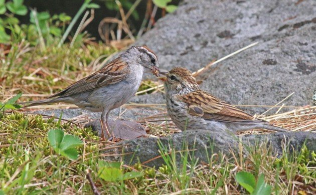 Chipping Sparrow feeding fledgling