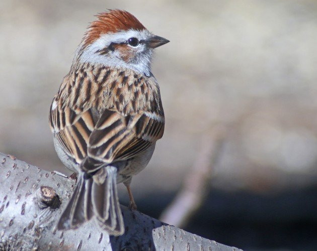 Chipping Sparrow with rufous cheek