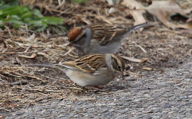 Chipping Sparrows 2