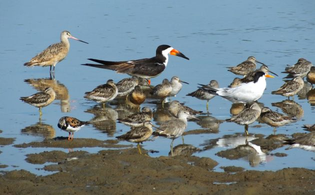 Chomes shorebirds