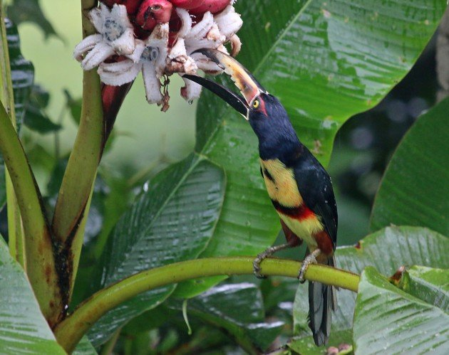 Collared Aracari eating pink bananas