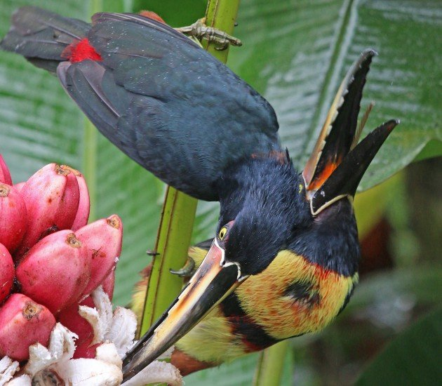 Collared Aracari showing serrated tongue
