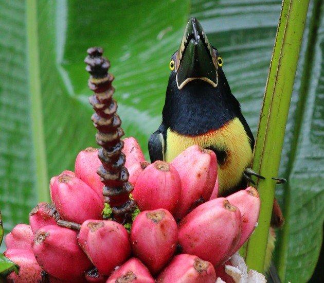 Collared Aracari staredown